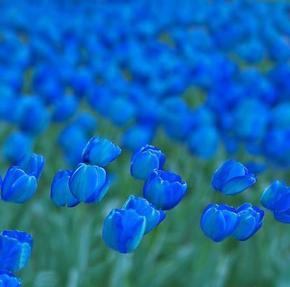 Blueチューリップ.jpg