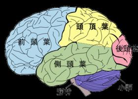 脳断面図.png