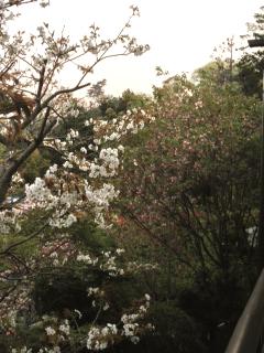 niwanosakura.JPG